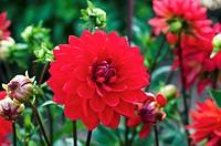 Dahlia ´Ruby´ flower.