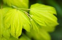 Maple Acer japonicum in April.