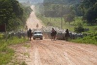 Cortege of Cattle, Peasant of Cowboy, Ox Bos taurus, Miranda, Mato Grosso do Sul, Brazil