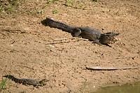 Alligator_pity_swampland Caimam crocodilus yacare, Corumbá, Mato Grosso do Sul, Brazil