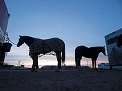 Rodeo horses at dawn with their owner prepping them at the Tucson Rodeo in Tucson, Arizona, United States