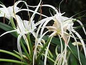 Spider Lilies Hymomocallis Littoralis Amarylilaceae