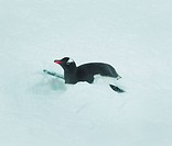Animal, Penguin, Polar Desert, Cuvervil, South Pole, Antarctica