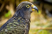 New Zealand, Southland, Fiordland National Park  A Kea , an alpine parrot only found in the mountain environment of the South Island of New Zealand