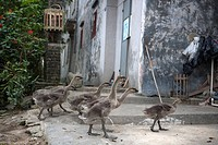 Goose rearing at Fuhe village, Kaiping, Guangdong Province, China