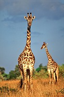 A pair of giraffes Giraffa camelopardalis in the Masai Mara game Reserve in Kenya