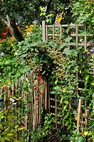 Blackberry Rubus fruticosus  Design: Jutta Wahren