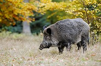 Wild boar (Sus scrofa), Germany