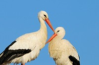 Couple of White storks, Ciconia ciconia, Germany