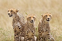 A cheetah mom &amp; her 2 cubs on the plains of the Masai Mara