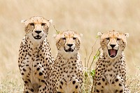 A cheetah mom & her 2 cubs on the plains of the Masai Mara