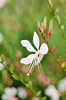 Butterfly gaura Gaura lindheimeri