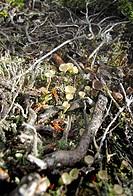 Scotland, Aberdeenshire, Cairngorms, Clandonia lichen found near Lochnagar.