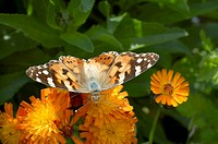 Scotland, Aberdeenshire, Strathdon, A Painted Lady on orange Hawkweed.