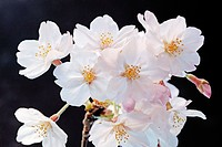 Cherry flowers, close up, black background