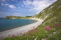 England, Dorset, Lulworth Cove, The flowers of the Red Valerian Centranthus ruber growing on the chalk cliffs at Lulworth Cove the Jurassic Coast Worl...