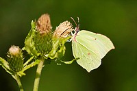 Germany, Bavaria, Brimstone butterfly Gonepteryx rhamni, close_up