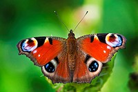 Germany, Bavaria, Peacock butterfly Inachis io on leaf, close_up