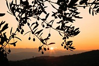 Italy, Tuscany, Olive tree at sunrise, close_up