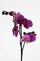 Pink Moth Orchid Phalaenopsis