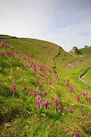 England, Derbyshire, Cressbrook , Early purple orchids near to Peter's Stone in the Peak District National Park