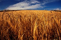 England, North Yorkshire, Whitby, A wheat field on the Cleveland Way in the North York Moors National Park