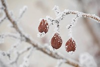 calgary, alberta, canada, frost on a dried crab apple on a tree