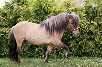 British Miniature horse _ walking on a meadow