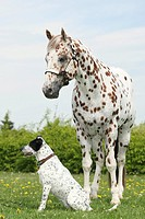 Appaloosa stallion horse and half breed dog on a meadow