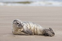 young Common Seal _ lying at the beach / Phoca vitulina