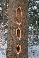Black Woodpecker _ nesting holes in a tree / Dryocopus martius