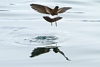 Wilson´s storm-petrel Oceanites oceanicus daintily feeding in the calm waters of Neko Harbour on the Antarctic Peninsula  MORE INFO This small storm-p...