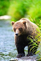 A Brown Bear fishing for salmon on the Russian River, Kenai Peninsula, Southcentral, Alaska