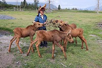 An intern at Alaska Wildife Conservation Center tends to orphaned moose calves, Southcentral Alaska