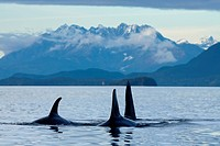COMPOSTIE: Orca whales surface in Lynn Canal with the Coast Mountains in the background, Inside Passage, Southeast Alaska