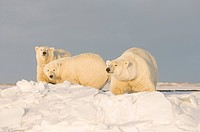 Polar Bear sow with two 2_year_old cubs walk along a barrier island during Fall freeze up, Barter Island, 1002 area of the Arctic National Wildlife Re...