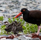 Close up view of Oyster Catcher with her chicks in Kukak Bay, Katmai National Park, Southwest Alaska, Summer