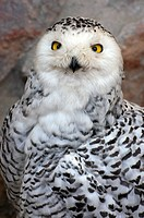 Snowy Owl Bubo scandiacus / Nyctea scandiaca portrait at the Antwerp Zoo, Belgium