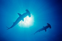 Galapagos Islands, Two Scalloped Hammerhead sharks Sphyrna lewini in blue ocean, View from below.