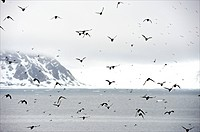 Spitsbergen, Svalbard, little Auk colony in Fuglesangen