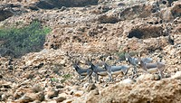 wild donkeys in the rock desert of &xA,Oman