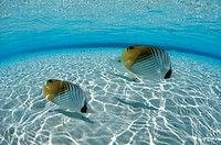 Threadfin butterflyfish, fish_eye lens, Maldives