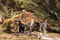 Morocco - The dates in the palmeries of Rissani in the Tafilalt usually are harvested from the date palms Phoenix dactylifera in October and then are ...