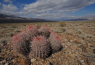 Barrel cactus with rain clouds, Ferocactus sp, Death Valley National Park, California, USA