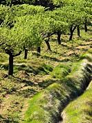 Campo de almendros en primavera en Culla - Alt Maestrat - Castellón - Comunidad Valenciana - España
