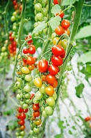 Cherry tomatoes on the plant