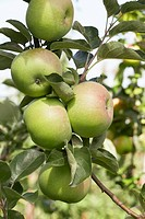 Apples, variety ´Ontario´, on the tree