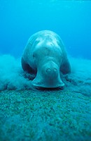 Dugong feeding in sea grass meadow underwater