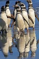 Magellanic Penguin (Spheniscus magellanicus). Saunders Island, Falkland Islands