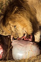 Male Lion feeds on a Wildebeest in the Masai Mara